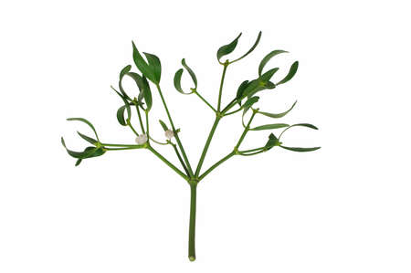 Mistletoe branch with berries, isolated on white background.