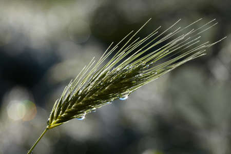 Rain drops on green grass spikelet Stock Photo