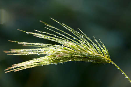 Dew drops on green grass spikelet