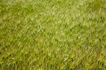 Goat grass in the steppe in Ukraine