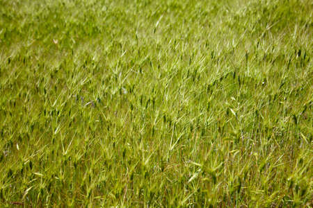 Goat grass meadow in spring time Stock Photo