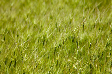 Texture of goat grass on the meadow Stock Photo