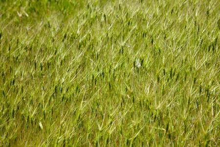 Texture of green grass spikelets Stock Photo