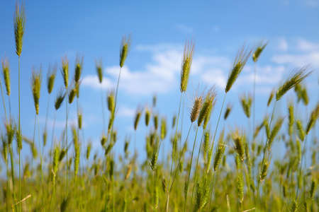 Grass spikelets on the background of blue sky Stock Photo