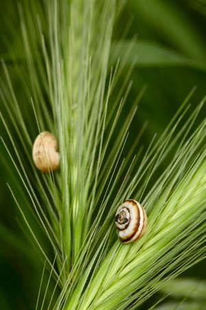 Snails on a green grass spikelets