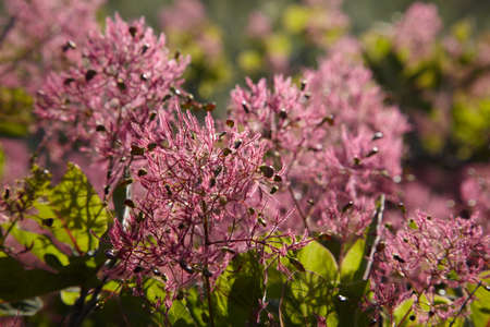 Pink flowers of Fustic bush Stock Photo