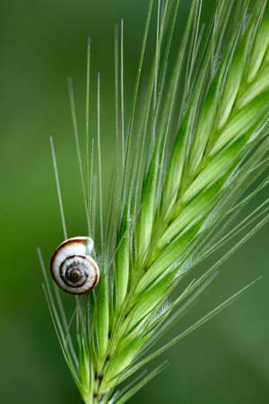 Small shell on a green grass spikelet