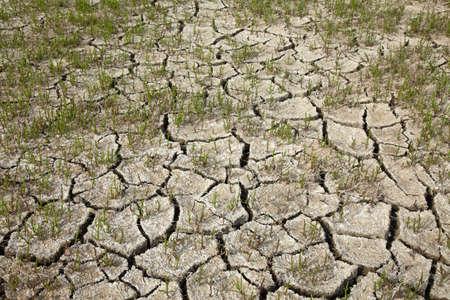 Saltwort on a dry cracked soil