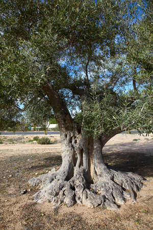 Body of old olive tree and blue sky