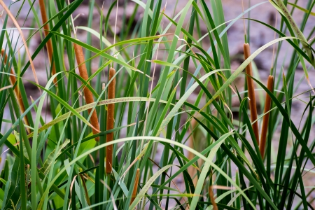 cattails: Cattails Reeds in a swamp field pond