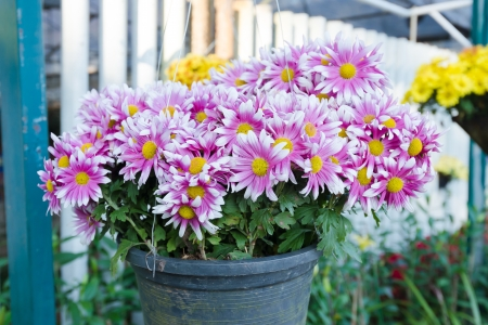 Bouquet of purple white Chrysanthemum in flower pot photo