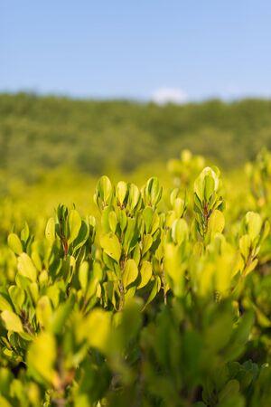 riek: Treetop view van gouden Prong Thong bos, Thailand