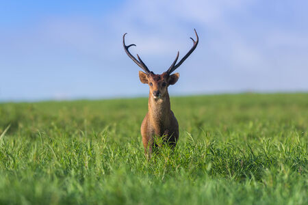 deer stand: Male hog deer stand alone on grassland Stock Photo
