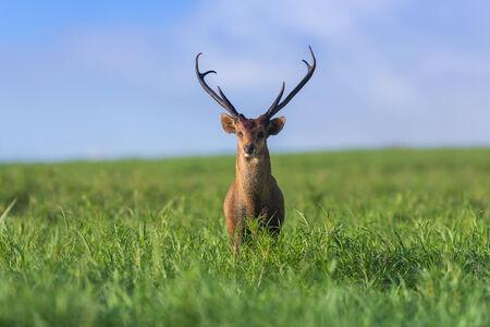 Male hog deer stand alone on grassland Stock Photo