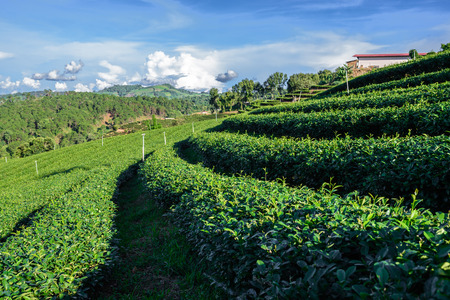 Rows of green tea tree plantation photo