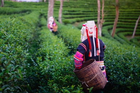 sencha tea: hill tribe harvester tea farmer