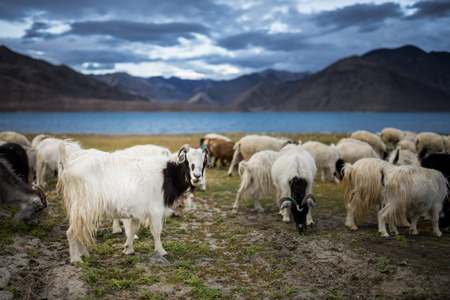 mountain goats: group of Pashmina goat at Pangong Tso Lake