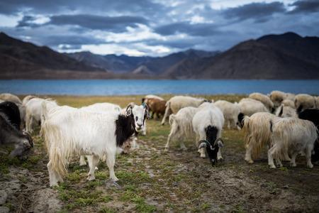 cabra: grupo de Pashmina de cabra en Pangong Tso Lake Foto de archivo
