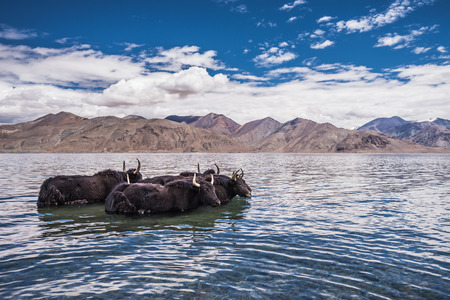 Group of yak standing in the water of Pangong Tso Lake,India photo