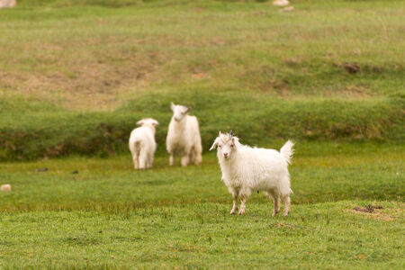 White pashmina goats standing on green grass field photo