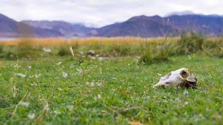 craneo de vaca: Cr�neo de la vaca en campo de hierba verde