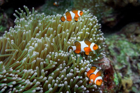 underwater shot anemone clown fish family photo