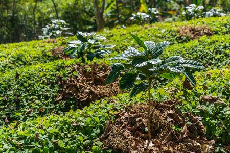planta de cafe: cafeto joven granja de plantación Foto de archivo