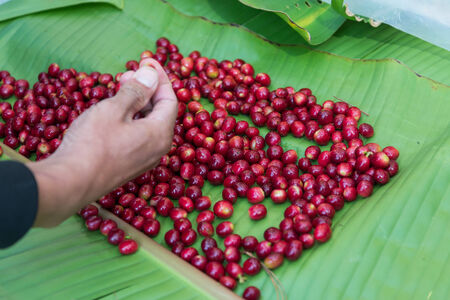 hand pick selecting coffee cherry bean