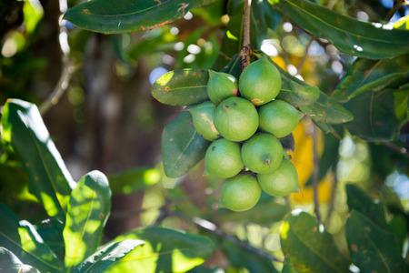 raw green macadamia nuts plantation Reklamní fotografie