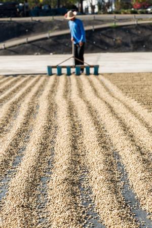 werknemer drogen groene koffiebonen Stockfoto