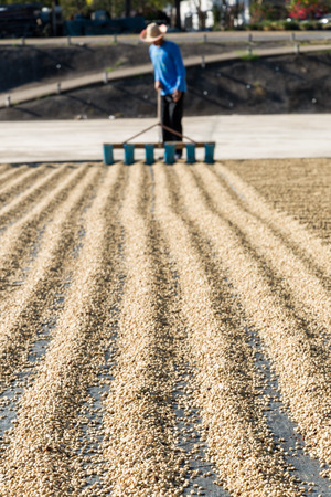 farms: worker drying green coffee beans