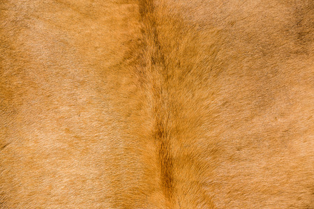 furskin: buffalo cow skin stretched for background texture
