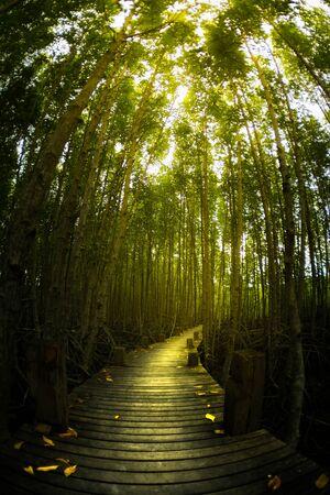 comp: mangrove tree forest wooden pathway glow golden light effect, vertical comp Stock Photo