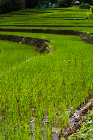 vertical composition: step rice farming plantation agriculture, vertical composition