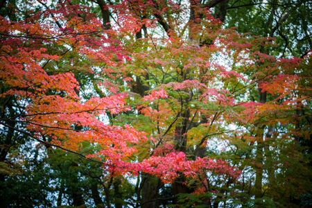 momiji: red foilage momiji maple tree leaves in autumn season