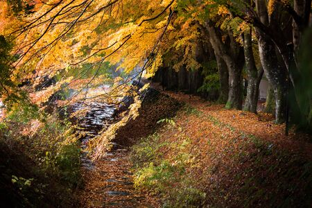 kawaguchi: momiji tunnel japanese maple ginkgo red yellow leaves in autumn
