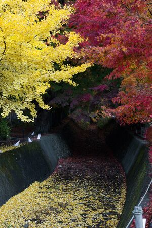 momiji: momiji tunnel japanese maple ginkgo red yellow leaves in autumn