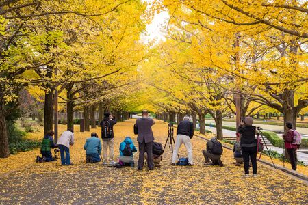 showa: TOKYO, JAPAN - NOVEMBER 12, 2015 : Tourists are taking photo for yellow ginkgo leaves  tunnel at Showa Kinen park