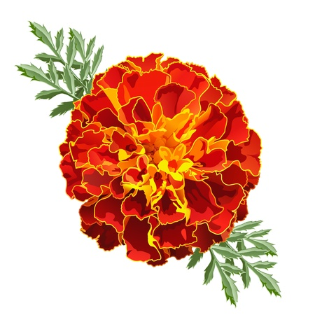 Red marigold flower (Tagetes patula) isolated on white background photo