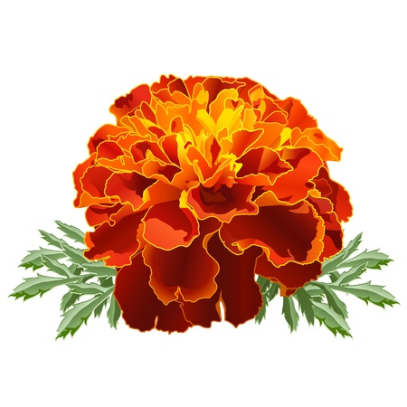 Red marigold flower (Tagetes patula) isolated on white background Vector
