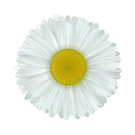 vector camomile flower isolated on white background Stock Vector - 12209220