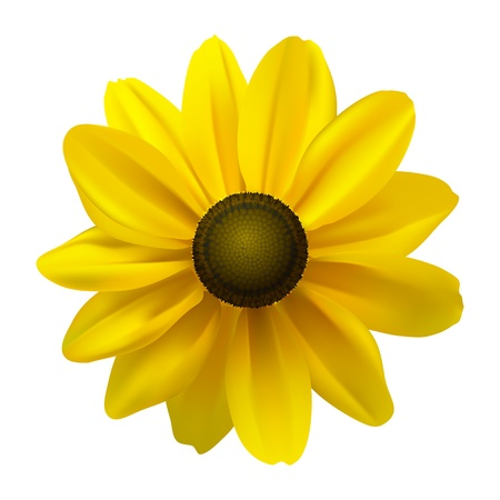 flowers close up: Black Eyed Susan  Rudbeckia Hirta  flower on white illustration