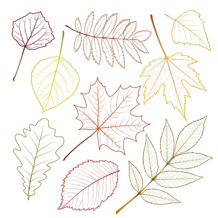 autumn colouring: collection beautiful autumn leaves isolated on white background  illustration Illustration