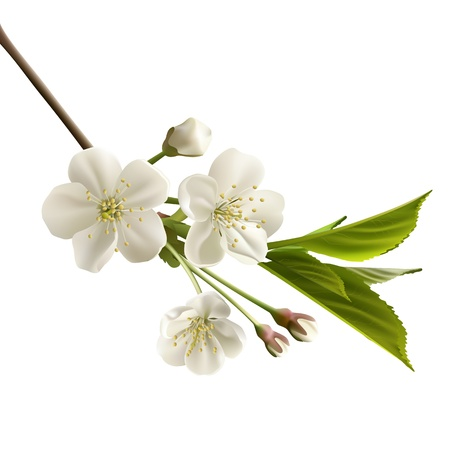 Blossoming cherry branch with white flowers   Ilustracja