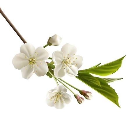ramo di ciliegio: Fioritura ramo di ciliegio con fiori bianchi
