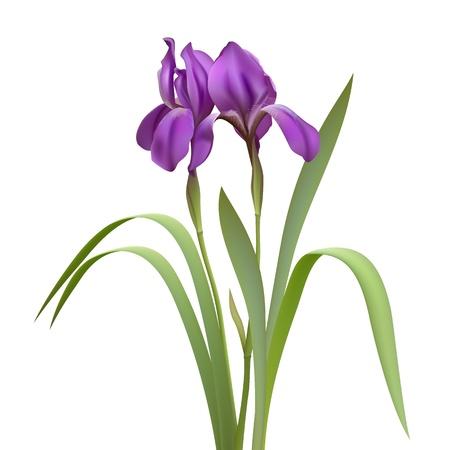 verde y morado: Purple Iris Flores Aislado en blanco ilustraci�n vectorial de fondo
