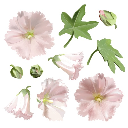 Set of Pink mallow flowers on white background  Illustration