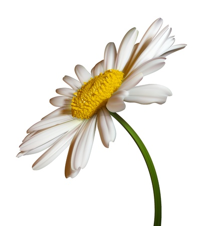 camomiles macro: vector camomile flower isolated on white background