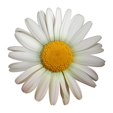 yellow daisy: vector camomile flower isolated on white background