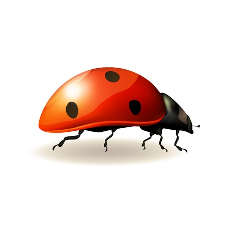 Ladybird on white background   Vector illustration
